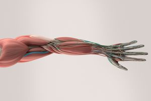 a model of arm and hand anatomy