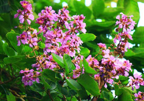 Las hojas y flores del árbol Lagerstroemia speciosa