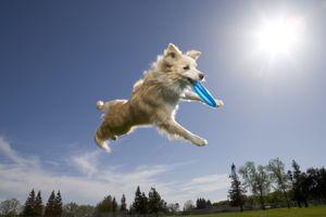 Australian shepherd catching plastic disc in midair