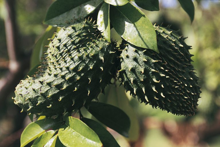 Close-up of soursop fruits with leaves (Annona muricata)