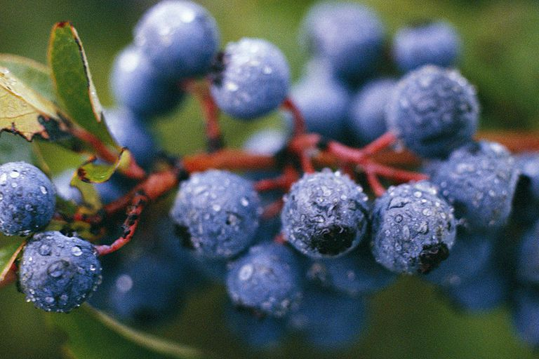 Blueberries with dew