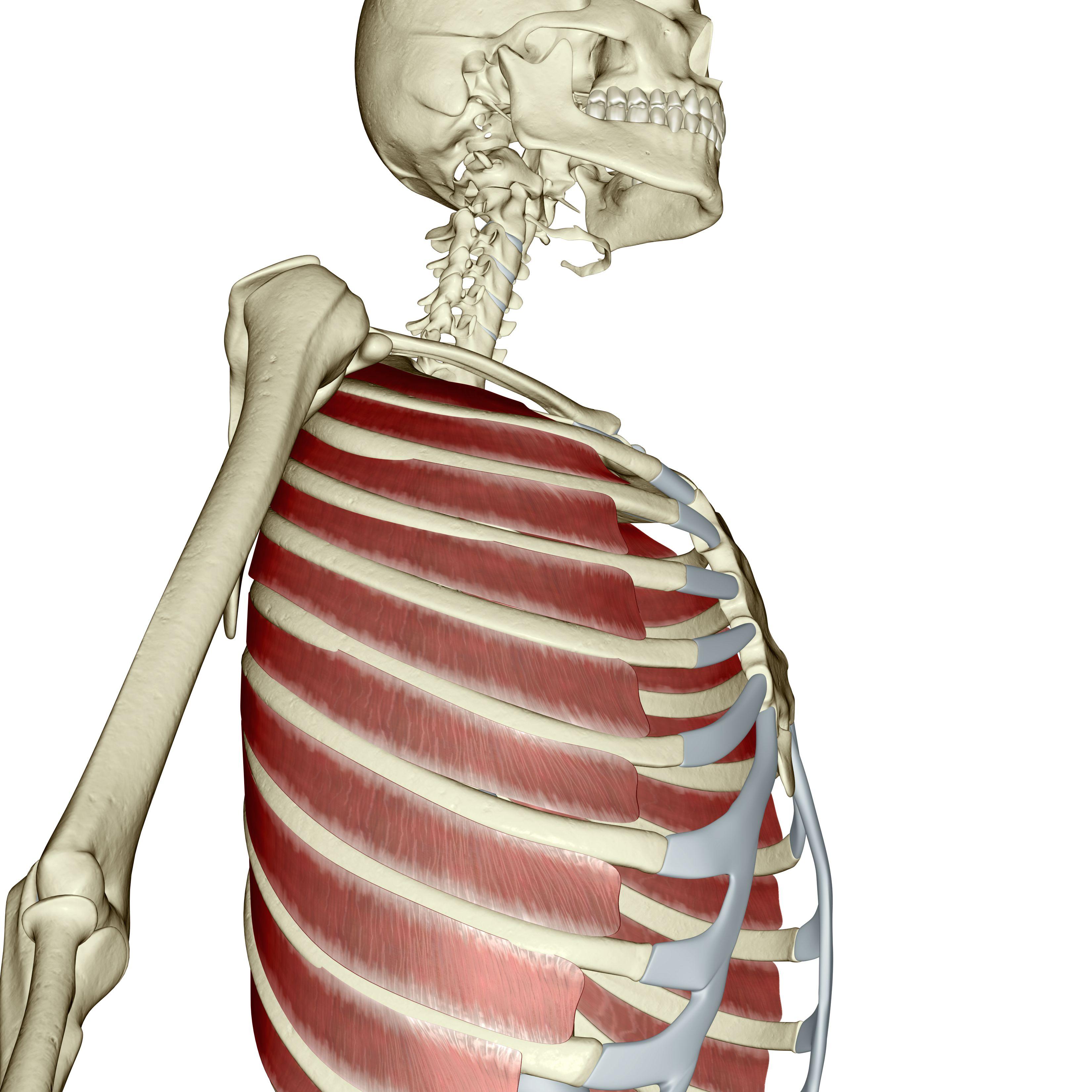External intercostal muscles