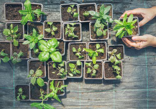 Regeneración de vegetales a partir de sobras