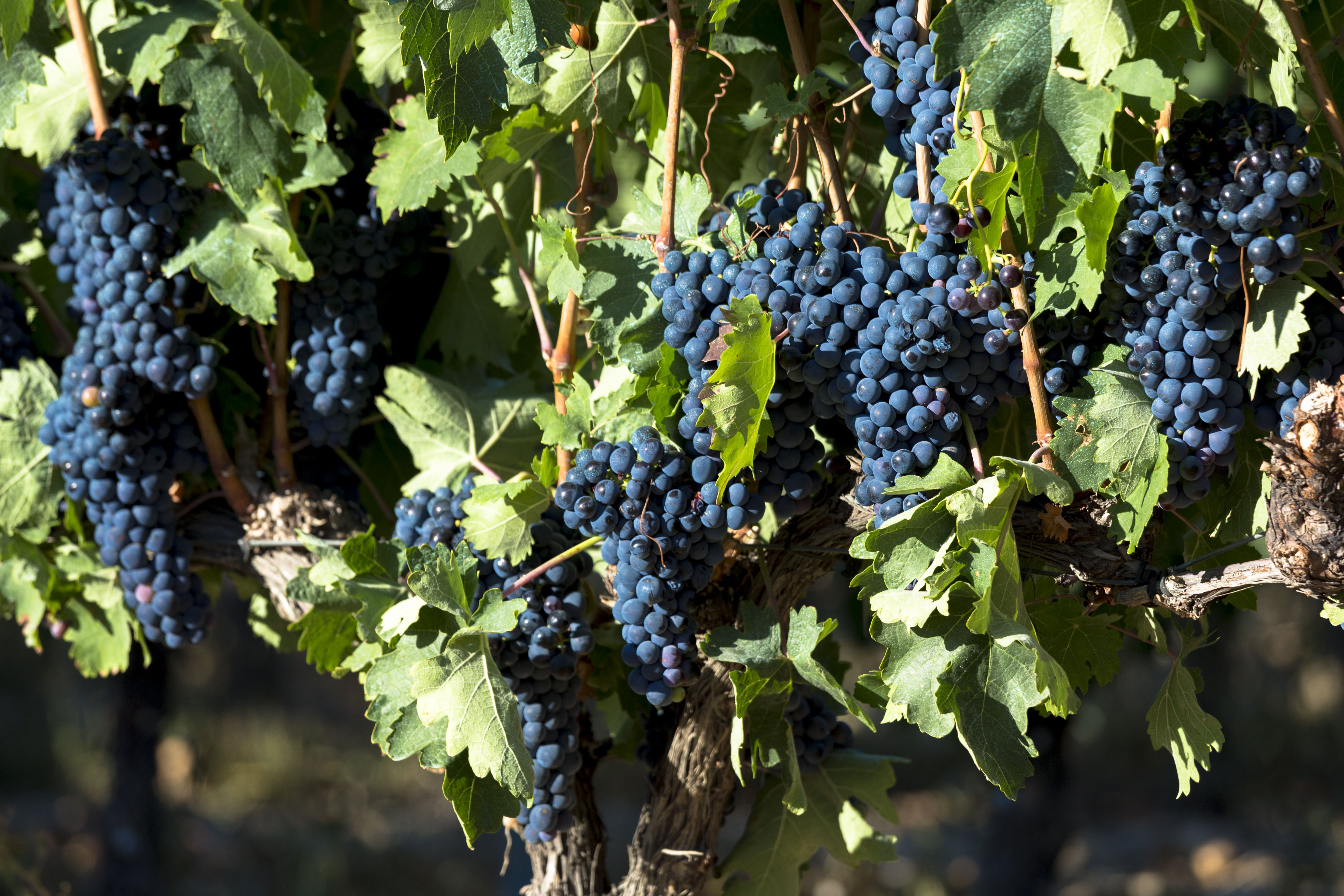grapes nutrition facts: calories and health benefits