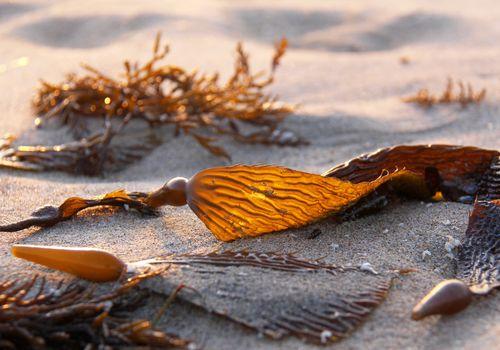 Algas, algas pardas, algas, algas gigantes, Phaeophyceae en la playa en el norte de California, EE.UU.
