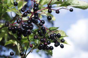 Black berries elderberry cluster Sambucus nigra with sky