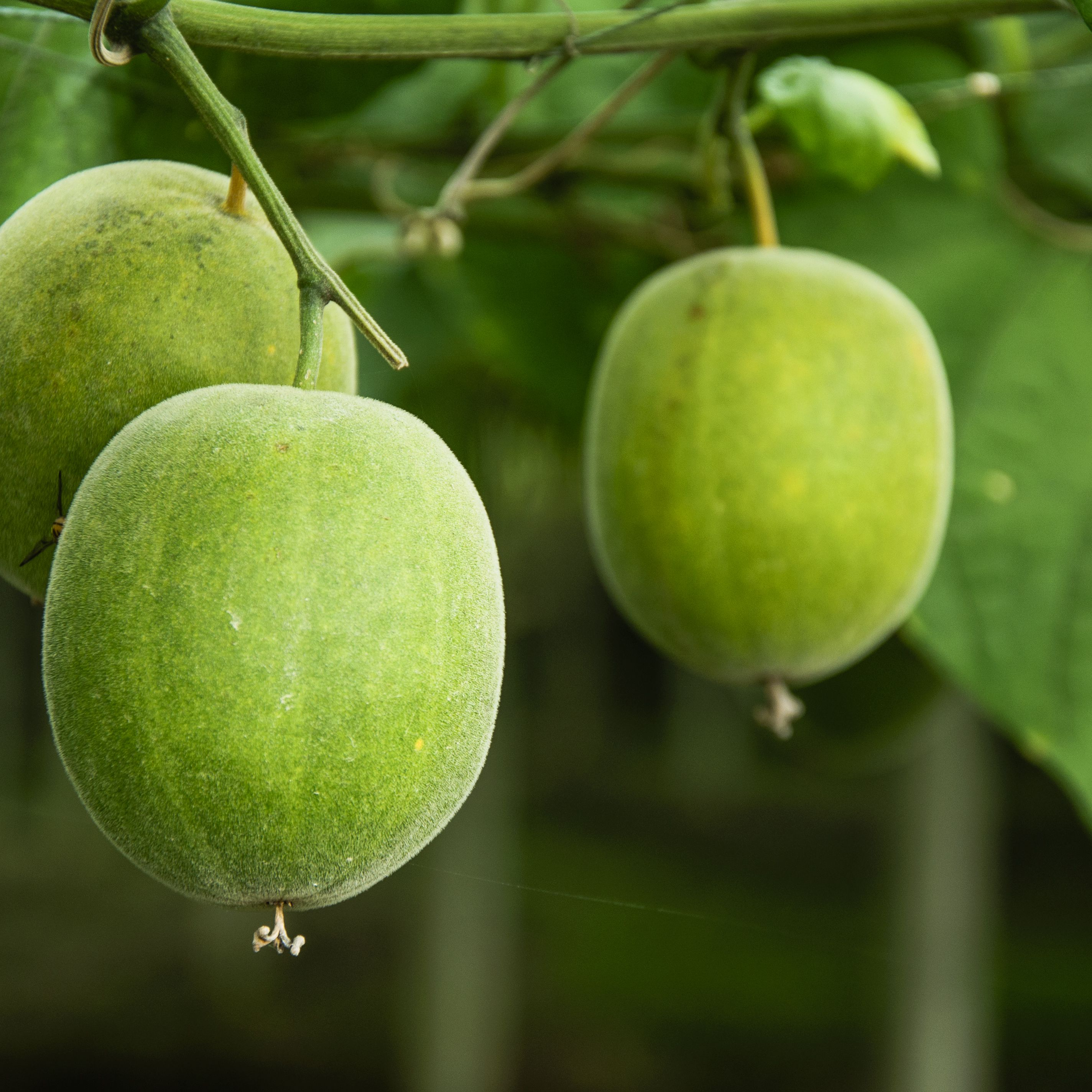 Monk Fruit Nutrition Facts and Health