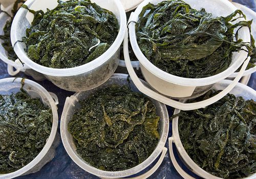 Algas wakame frescas en el mercado de pescado_Choshi_Chiba Japón