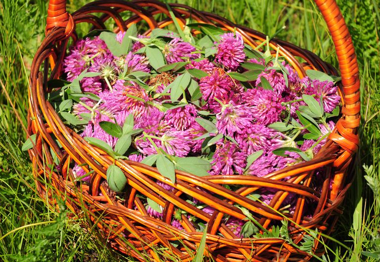 Gather Herbs for Herbal Tea. Trifolium pratense. Red clover is commonly used to make a sweet-tasting herbal tea. It is an ingredient in some recipes for essiac tea, herbal tea.