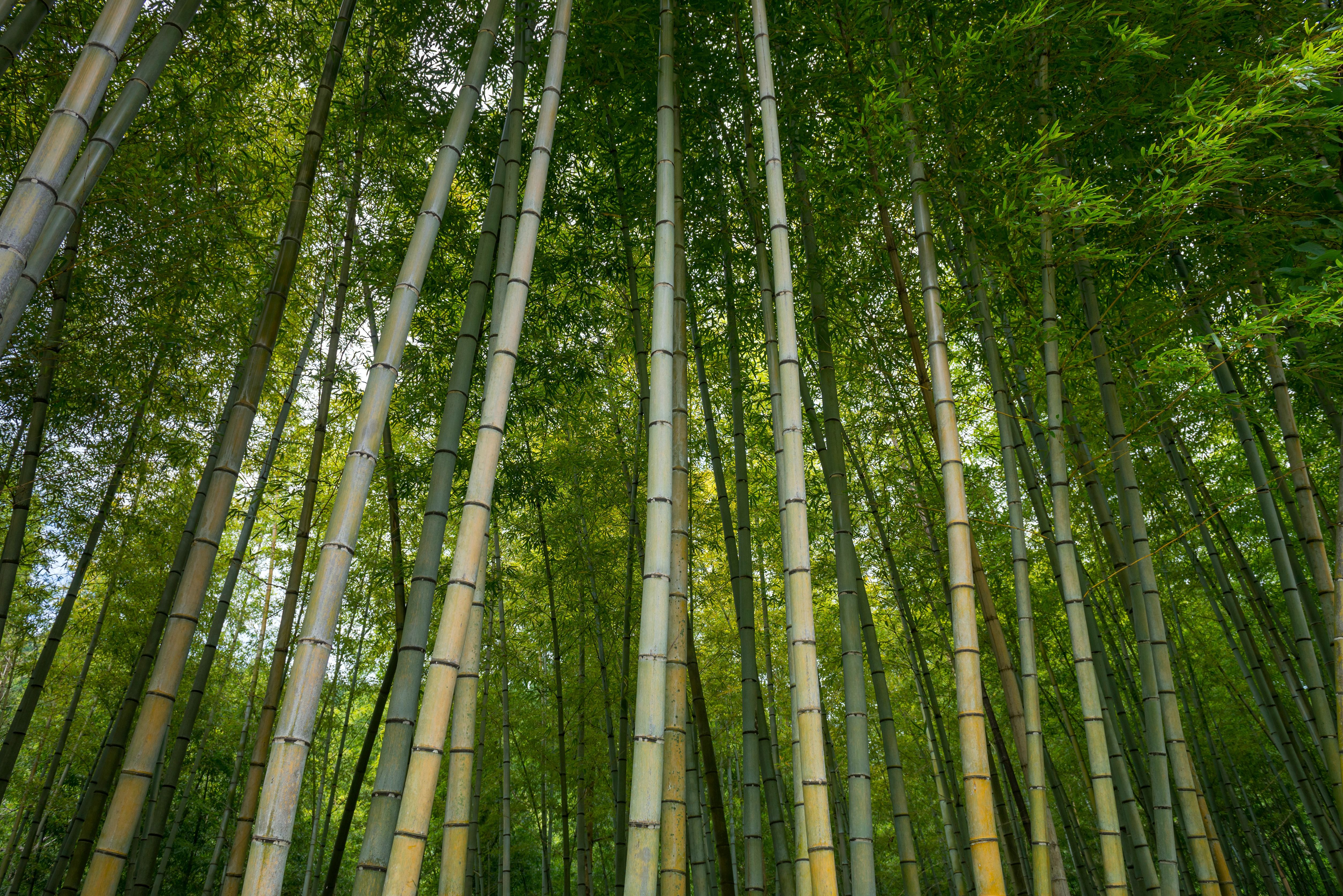 Bosque de bambú japonés