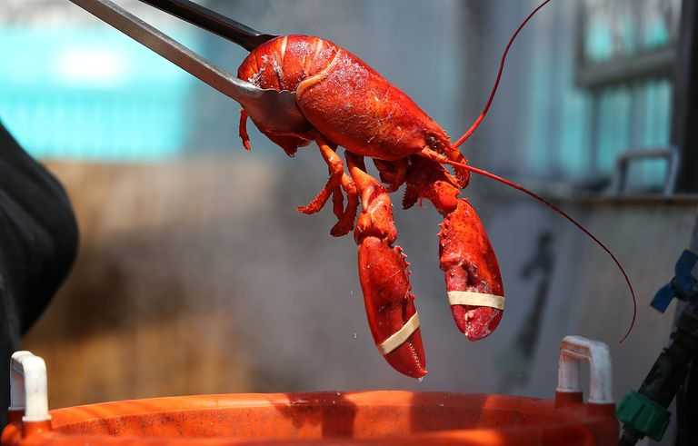 Lobster going into a hot pot