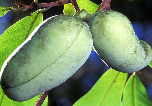 pawpaw-fruit-on-tree
