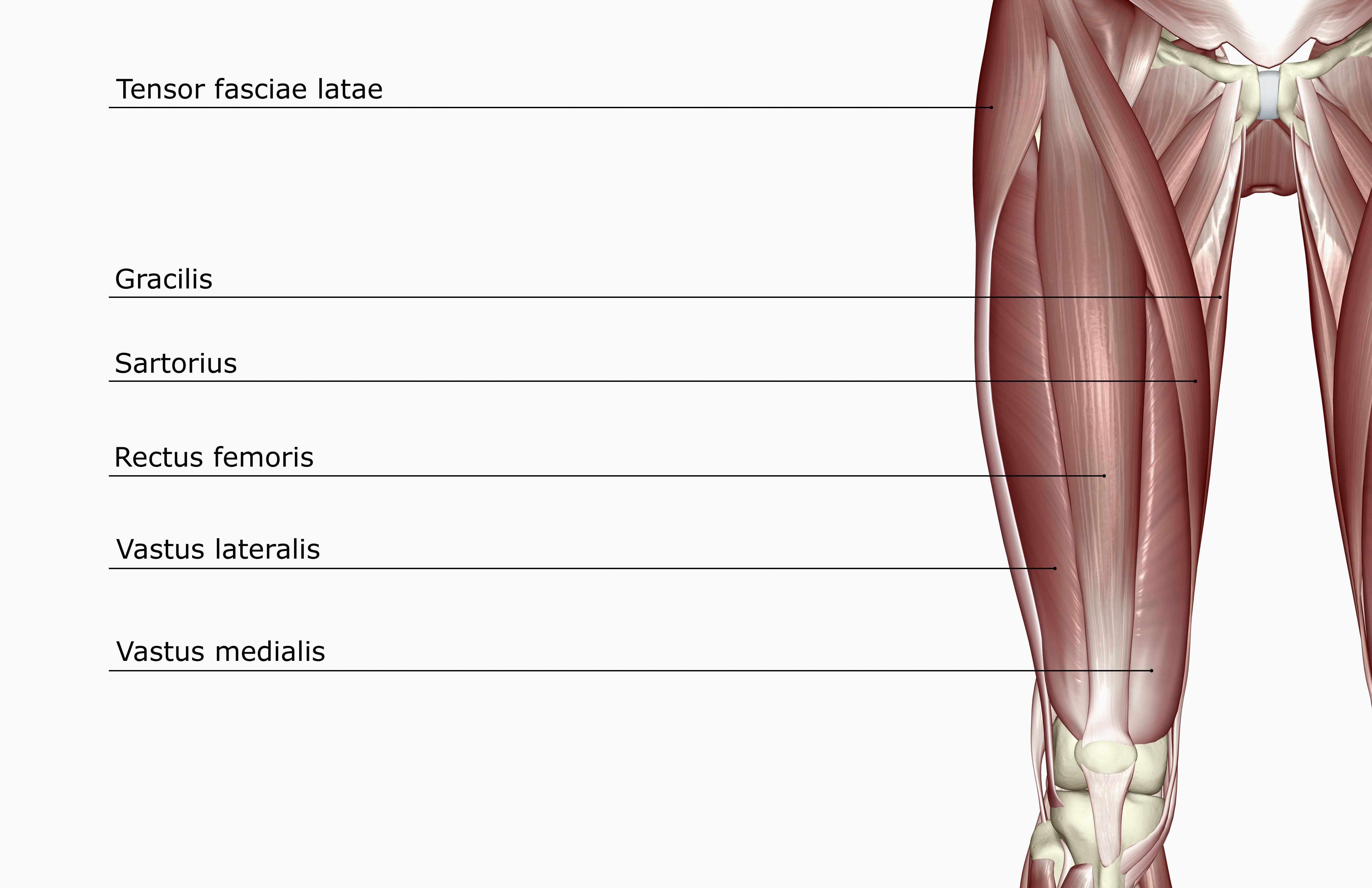 Function Of The Rectus Femoris Muscle