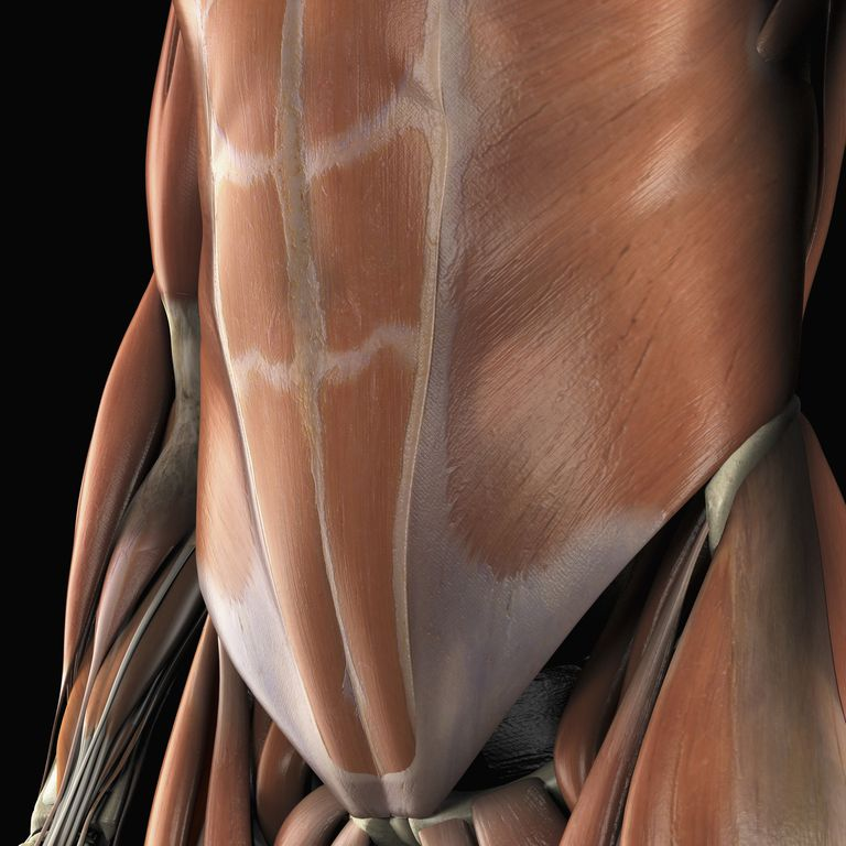 Anatomical model showing the lower abdominal muscles.