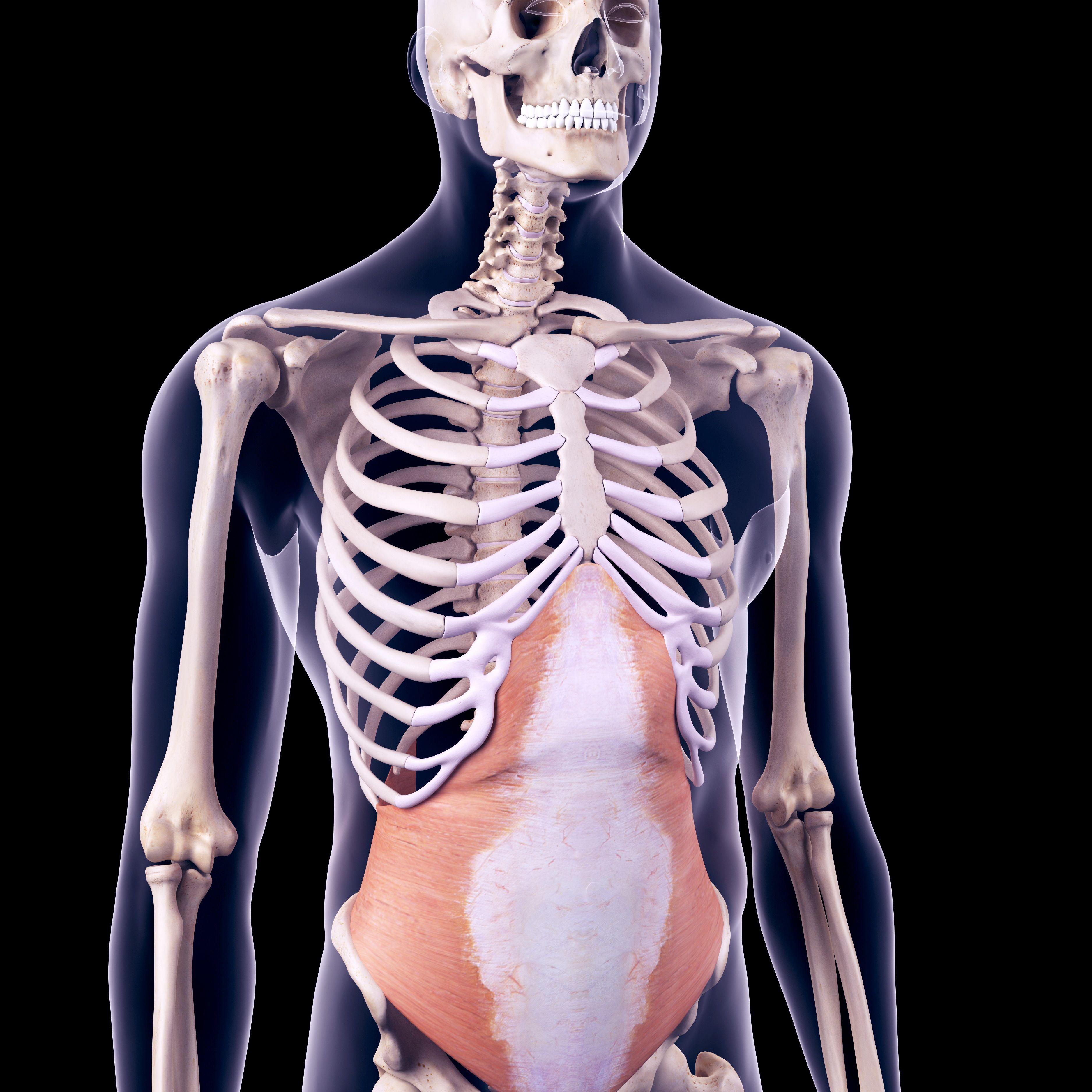 Músculo transverso del abdomen
