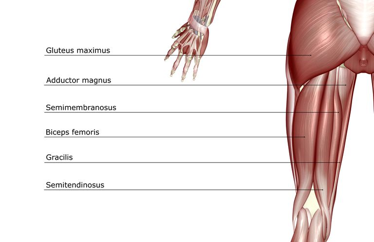 Muscle diagram of lower extremity shows hamstrings.