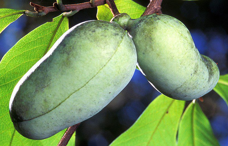 Pawpaw Fruit Nutrition Facts and Health Benefits