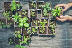 Regrowing vegetables from scraps