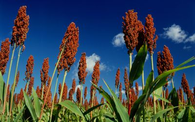 A field of Sorghum with a blue sky