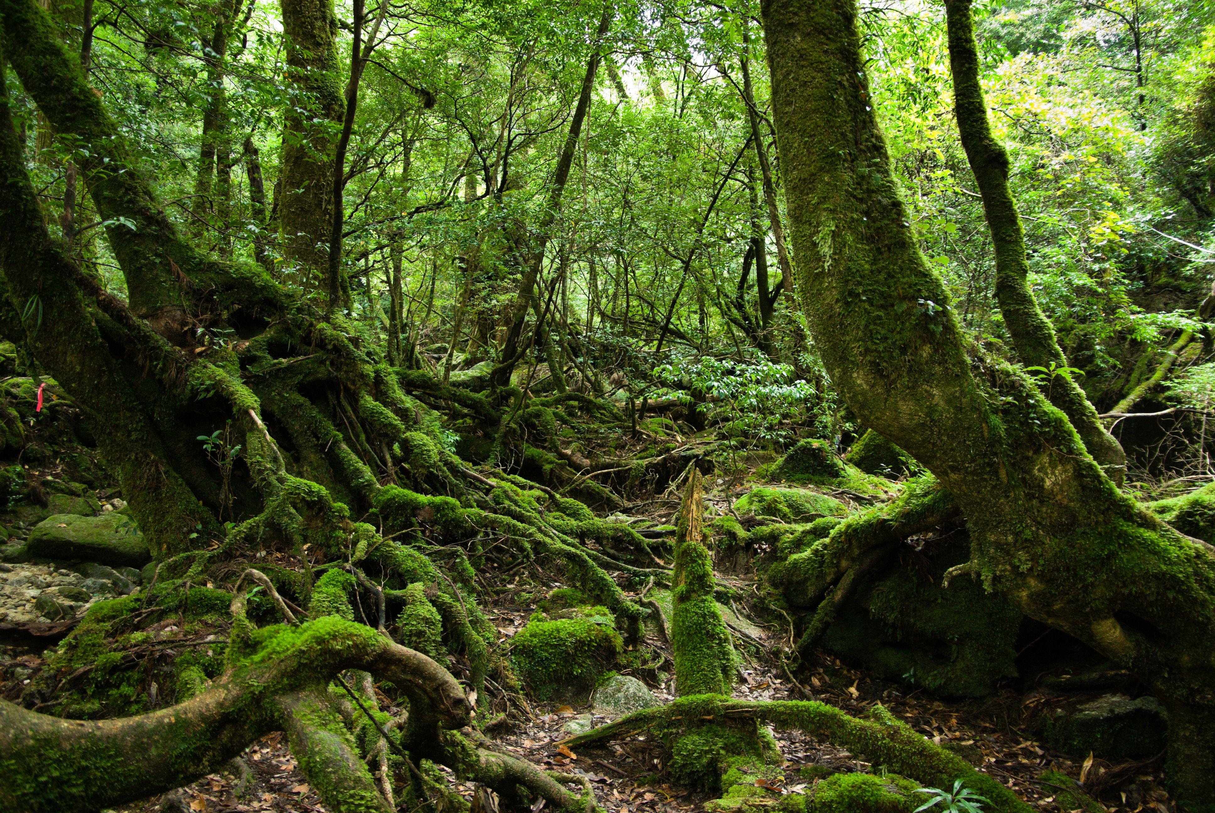 Selva cubierta de musgo, Yakushima, Japón