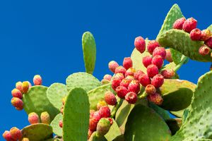Nopal (Prickly pear cactus) and prickly pear fruit