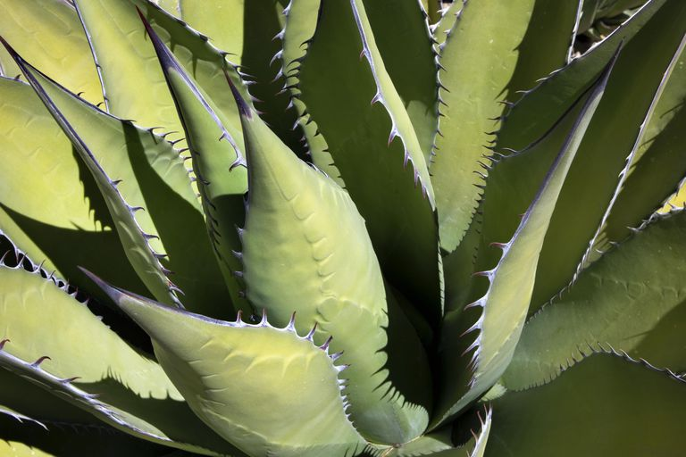 Detail of Agave plant