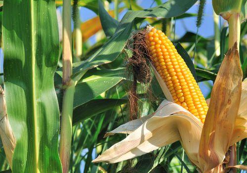 Hermosa mazorca de maíz madura