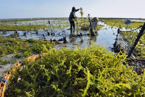seaweed farming for carrageenan