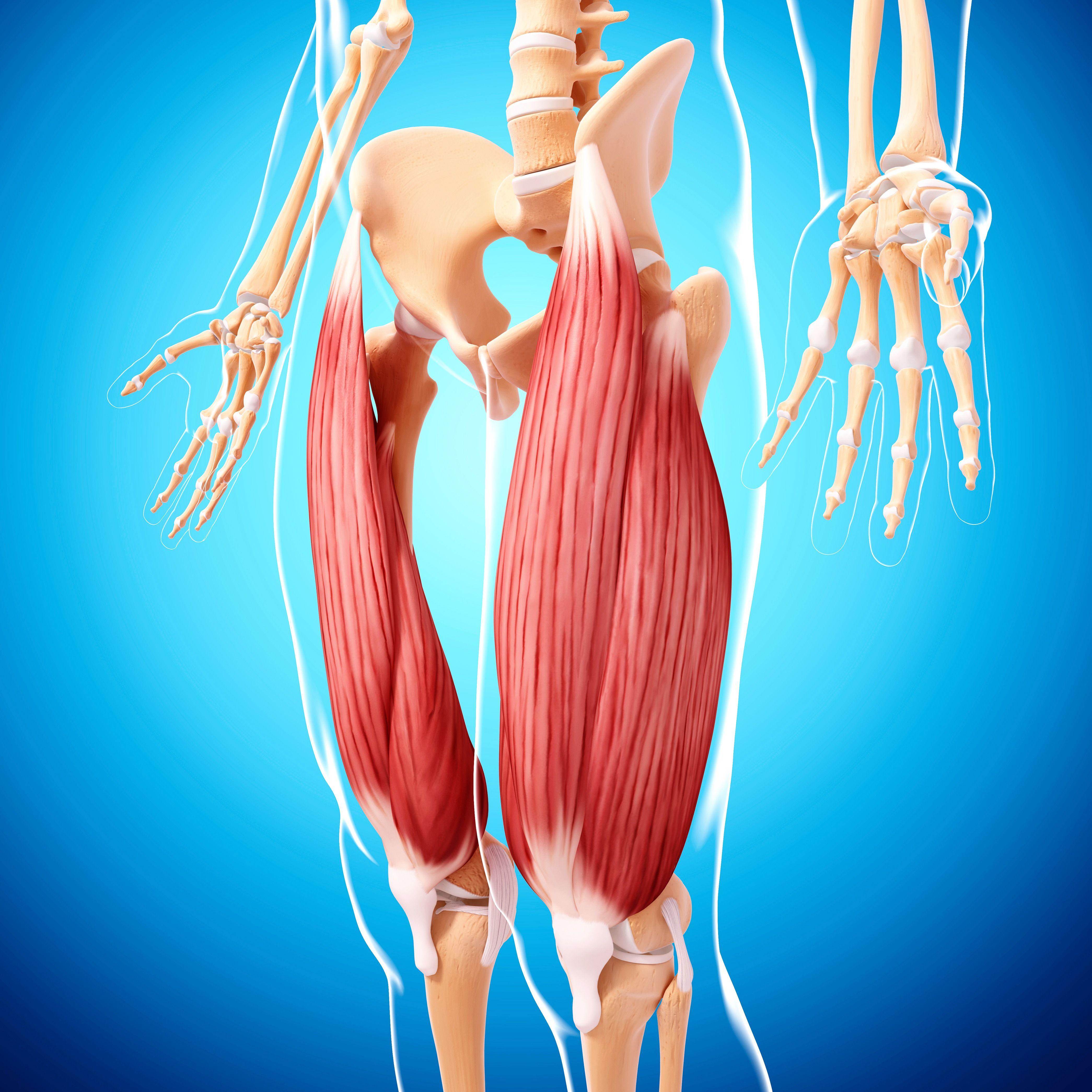 Musculatura de la pierna humana, equipo de ilustraciones.